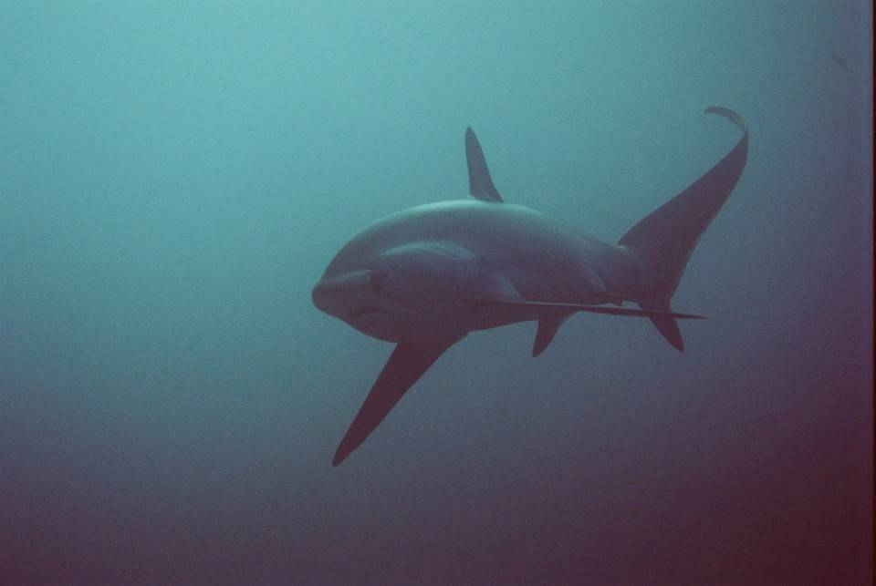 Filipijnen_negros_bohol_malapascua_luzon_voshaai_Mala_Thresher_shark