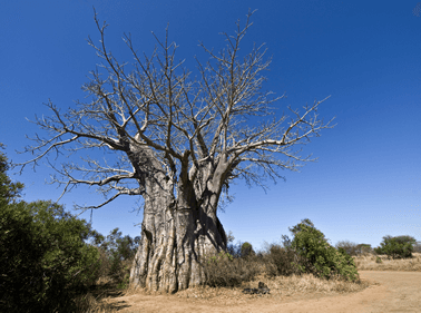 Mozambique_duiken_safari__kruger_national_park_Baobab_Tree