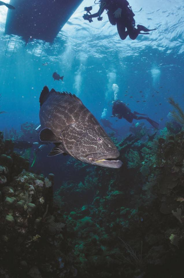 Honduras_duiken_anthoneys_key_resort_roatan_scuba__Grouper