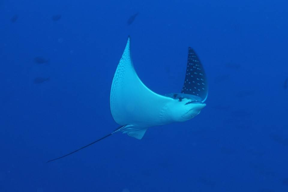 Indonesie_duiken_cape_paperu_dive_duikvakantie_Eagle_Ray
